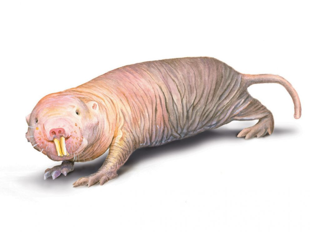 Naked And Unafraid: The Secret Lives Of Naked Mole Rats