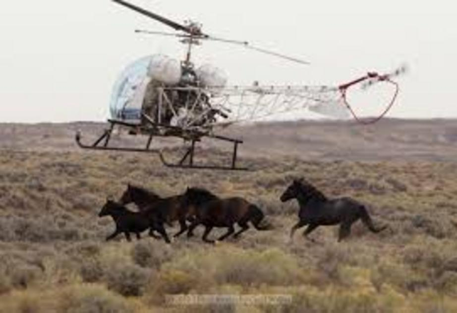 A Bureau of Land Management contractor's helicopter forces a wild horse into a trap during the recent roundup at the Salt Wells Creek.