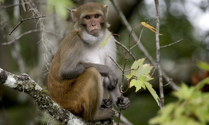 A rhesus macaques monkey along the Silver river in Silver Springs, Florida.